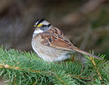 White-throated Sparrow _S9S7851.jpg