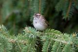 White-throated Sparrow _S9S8849.jpg