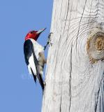 RED-HEADED WOODPECKERS (Melanerpes erythrocephalus)