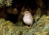 White-throated Sparrow _S9S8698.jpg
