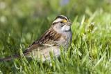 White-throated Sparrow _S9S0175.jpg