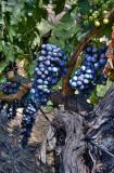 Grape Bearing Vines