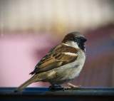 Magic Kingdom Sparrow