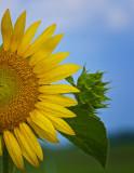 Bisected Sunflower - Impasto