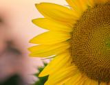Sunset Semi-Sunflower