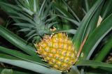 Pineapples In Georgia