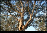 Myrtle Creek - Gum Tree