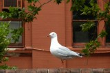The lonely seagull - central station Sydney P1000462.JPG