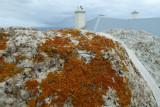 Brown coloured lichen