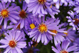 Asters I