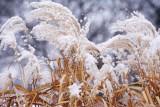 Snow on Reeds