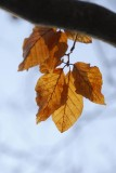 Leaves that refuse to Fall