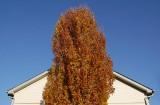 Pryamidial Oak