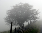Tree in Irish mist.