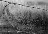 Web on a misty day- B&W