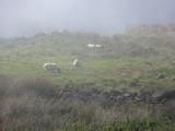 Grazing in the mist.