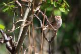 3007   Clay-colored Sparrow