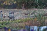 7413 Deer invasion