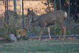 7471 Deer