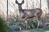 7500 Deer