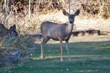 7501 Deer.jpg