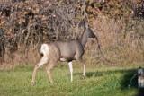 7514 Deer