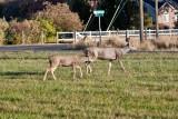 7515 Deer