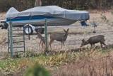7530 Deer