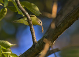 Philidelphia Vireo with lunch