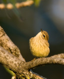 Palm Warbler at Sunset