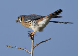 Kestrel getting ready to dine