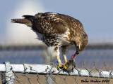 Red-tailed Hawk w/dinner