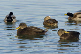 American Black Ducks in front  with female mallard in back 3193