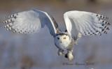 Snowy Owl Invasion Winter 2008-2009