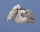 Snowy Owl - Batman pose