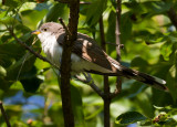 Yellow-billed Cuckoo 2.jpg