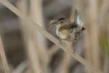 Marsh Wren with food 5136a
