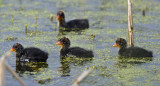 American Coot chicks 5266