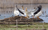 American White Pelicans 5373