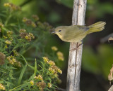 Common Yellowthroat 3466