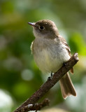 Flycatcher 2