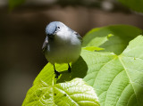 Blue-gray Gnatcatcher 6103