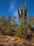 Saguaro morning