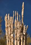 Crown of saguaro ribs