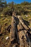 A fallen saguaro giant