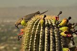 Cactus fruit breakfast