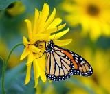 Monarch Butterfly   P9245441.jpg