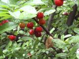 Shimaruku in my garden