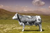 Cow on Nockalm (Austria)