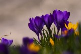 Crocus and other flowers in March